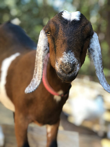 Penelope Goat - OFP Farms