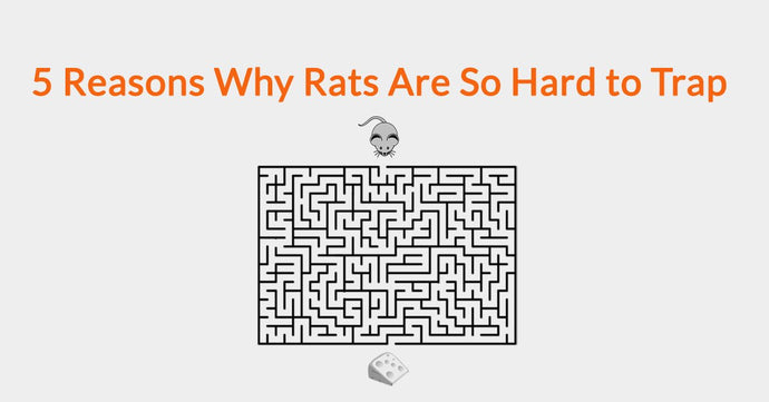 5 Reasons Why Rats Are So Hard to Trap