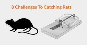8 Challenges To Catching Rats