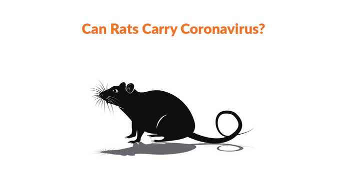Can Rats Carry Coronavirus?