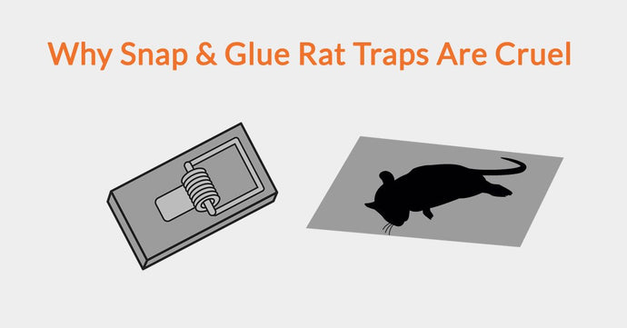 Why Snap & Glue Rat Traps Are Cruel