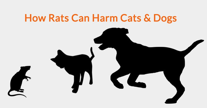 How Rats Can Harm Cats & Dogs