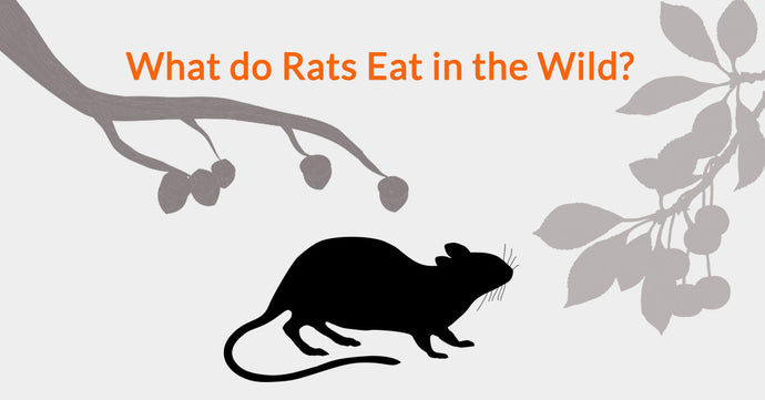 What Do Rats Eat In The Wild?