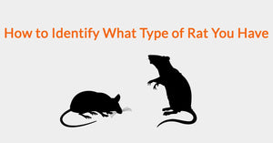 How to Identify What Type of Rat You Have