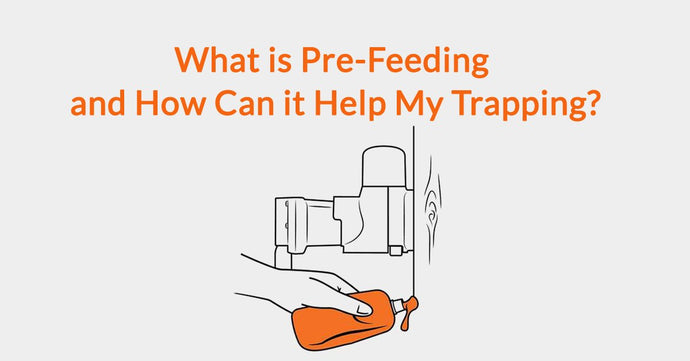 What is Pre-Feeding and How Can it Help My Trapping?