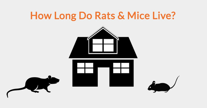 How Long Do Rats & Mice Live?