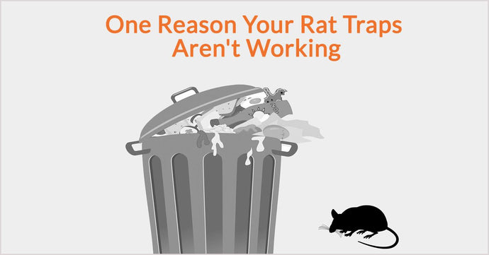 One Reason Your Rat Traps Aren't Working
