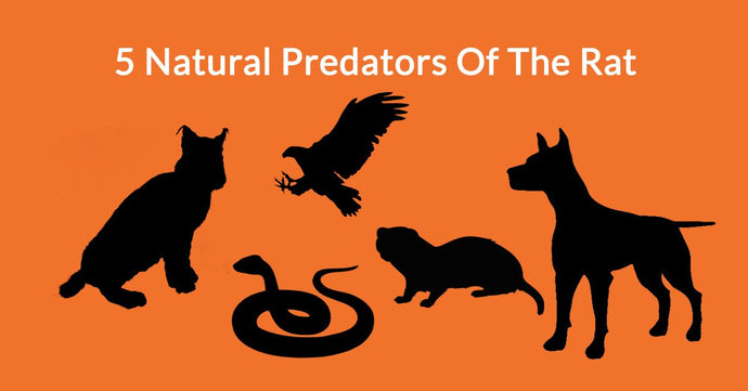5 Natural Predators Of The Rat