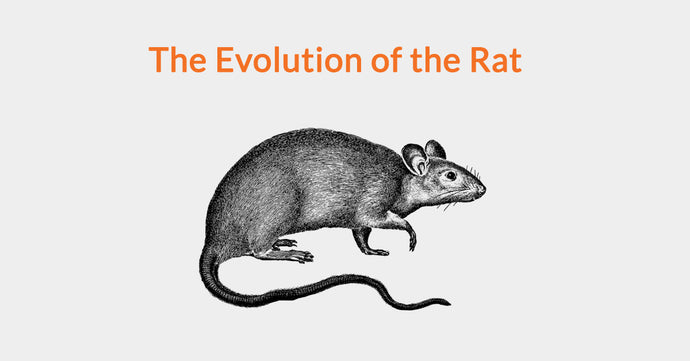 The Evolution of the Rat