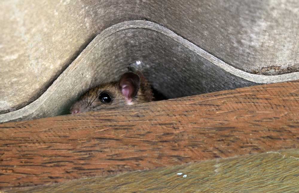 3 Ways a Mouse Can Kill You – Automatic Trap Company