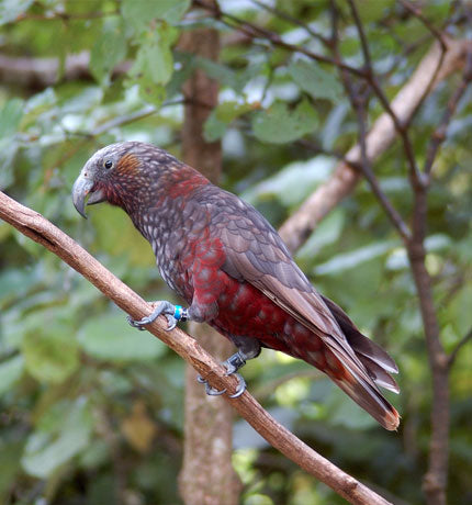 North Island Kākā