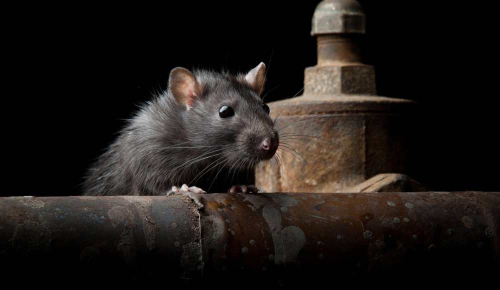 rat on pipe