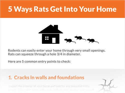 5 Ways Rats Can Get Into Your Home
