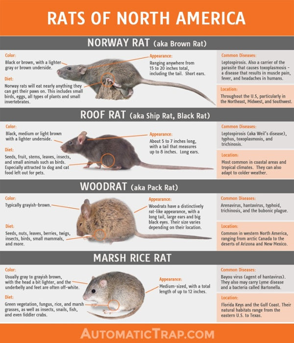 How To Identify What Type Of Rat You Have Automatic Trap