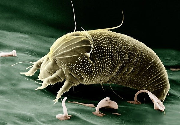 Are Rate Mites Worse Than Bed Bugs Automatic Trap Automatic Trap Company