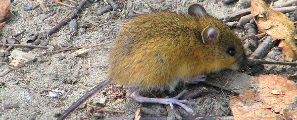 Woodland Jumping Mouse