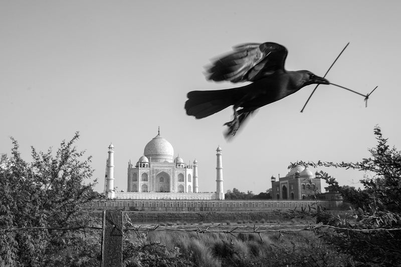 The Taj, the Crow and I