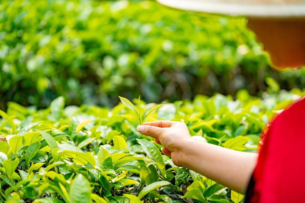 An overview of the most famous TRES tea cultivars from Taiwan
