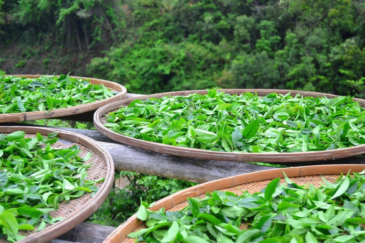 How many tea harvest times are there per year in Taiwan and what influence do these have on the quality or taste of the tea varieties?