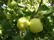 Gibson Golden Delicious Apple