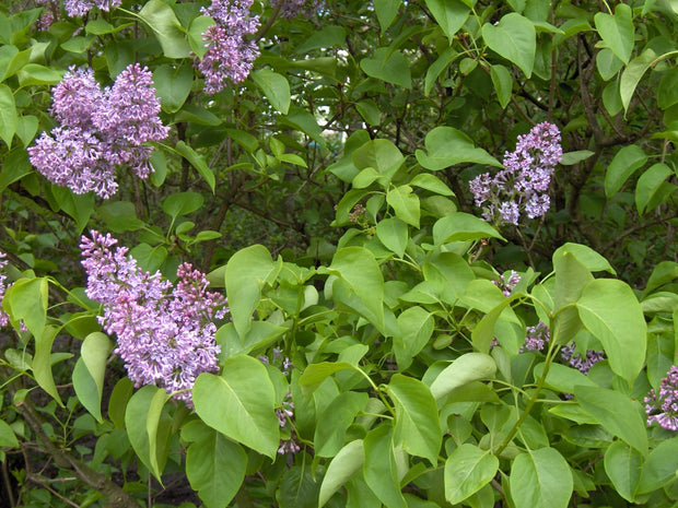 Lilac (common)