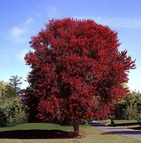 Burgundy Belle Maple