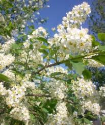Canada Red Select Chokecherry