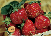 Jewel Strawberries