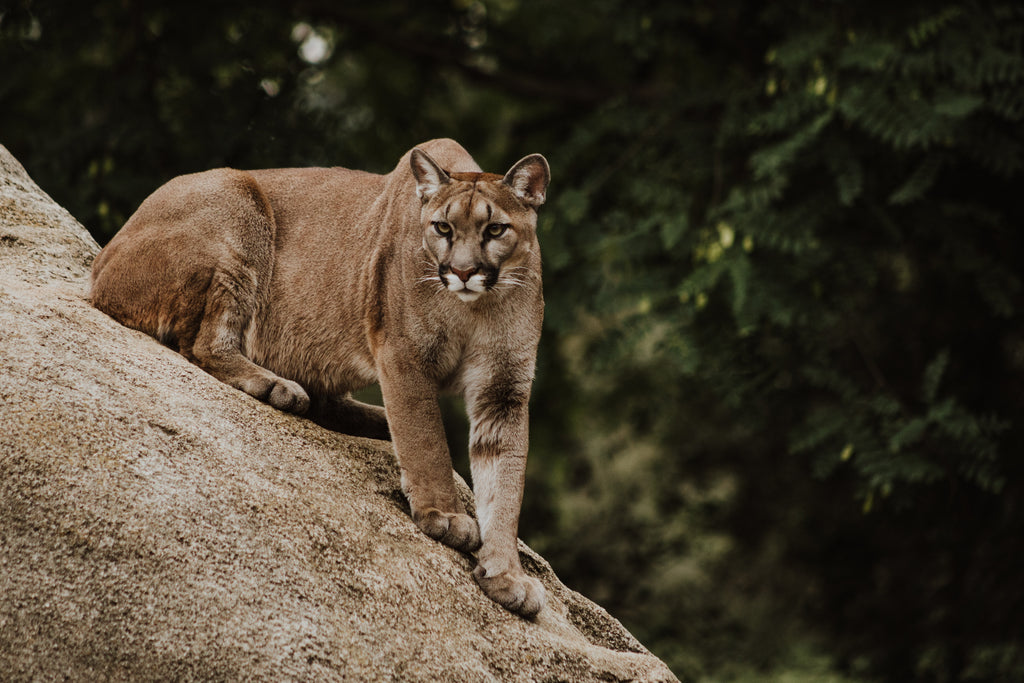 4 Year Old Boy Survives San Diego Mountain Lion Attack