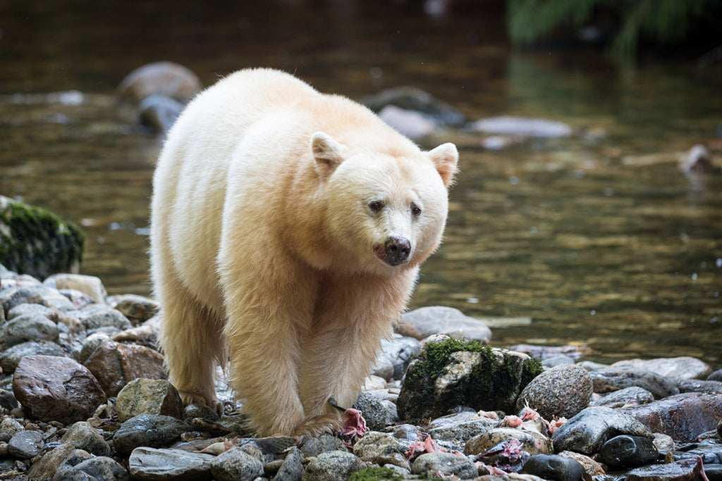 Ever Heard of the White Spirit Bear?