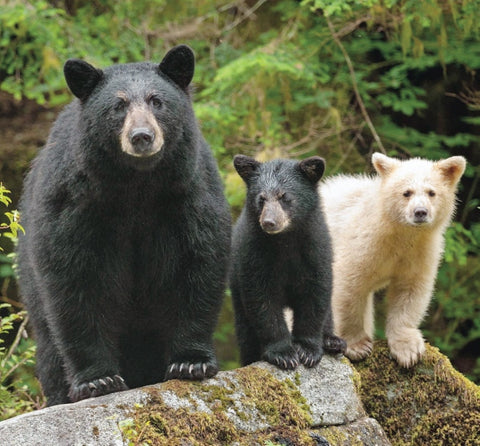 Mama black bear with one black cub and one Kermode white cub