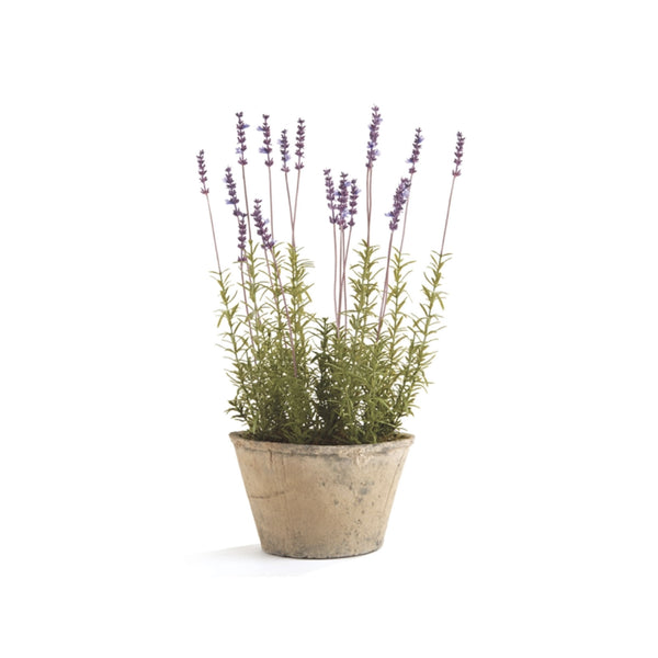 Potted French Lavender