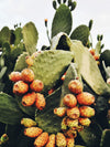 Prickly Pear Seed Oil : A Hidden Treasure With Endless Beauty Benefits