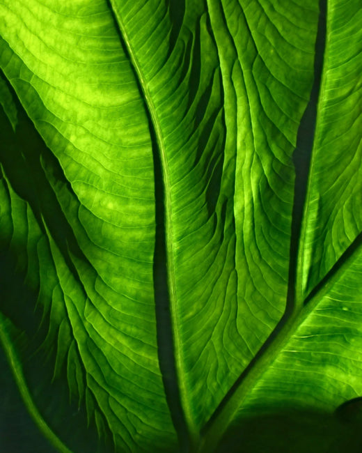 Green Leaf Close-up La Coéss Vegan and Organic Face Oil
