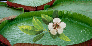 single copaiba flower in the amazon
