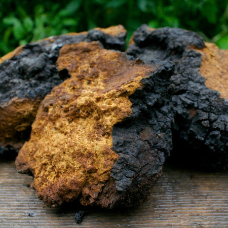 Chaga Extract - The worlds most bioavailable supplement?