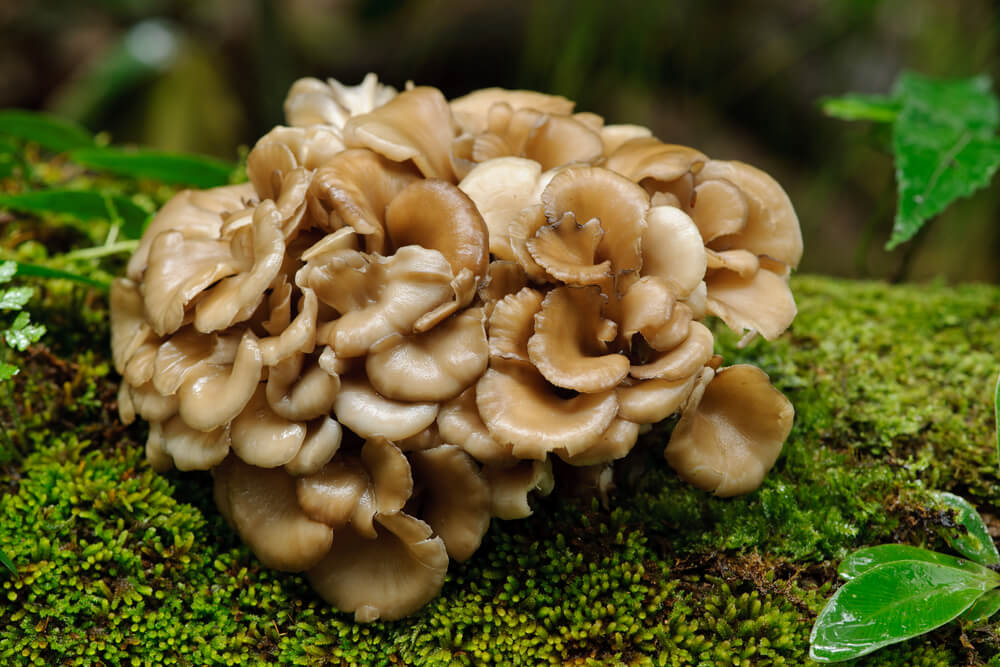 Important Facts You Should Know About Maitake Mushrooms
