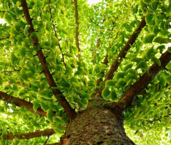 view of ginkgo baloba tree from the trunk upwards