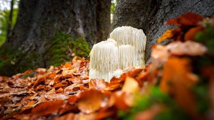 Lion's Mane in the Forest Superfoods Australia