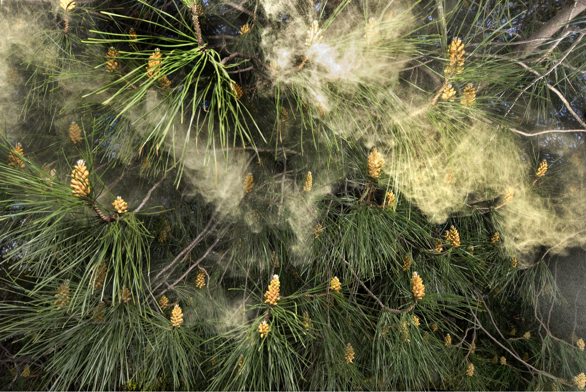 Wild Pine Pollen Flying in the forest Superfoods Australia