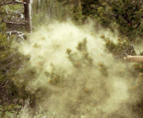 image of plant where pine pollen is found
