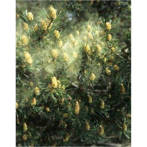 Image of Pine Pollen Extract Powder 20:1 100 Capsules