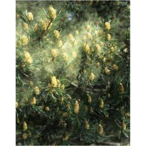 Image of Pine Pollen Powder Cracked Cell Wall Capsules