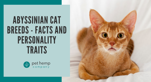 Abyssinian Cat Breeds - Facts and Personality Traits