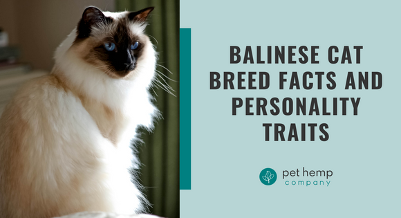Balinese Cat Breed Facts and Personality Traits