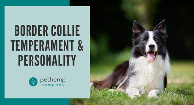 Border Collie Temperament & Personality