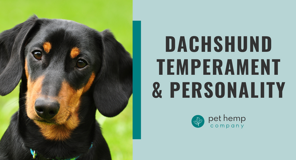 Dachshund Temperament & Personality