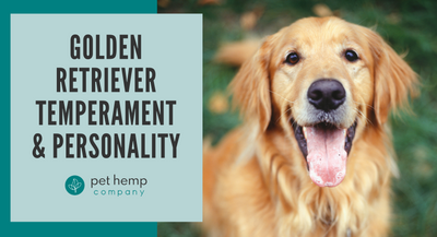 Golden Retriever Temperament & Personality