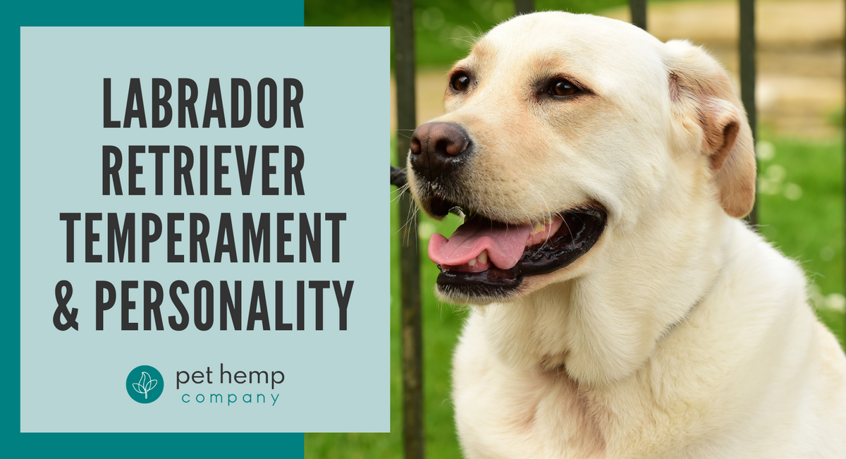 Labrador Retriever Temperament & Personality