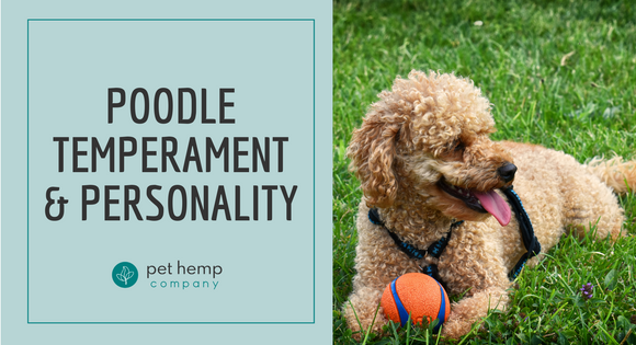 Poodle temperament & Personality